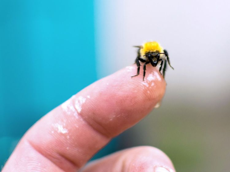 Honey Bee Human Hand Human Body Part Human Finger One Person Insect Real People Food Stories Animals In The Wild Unrecognizable Person Animal Themes One Animal Close-up Day Outdoors Focus On Foreground Animal Wildlife Nature