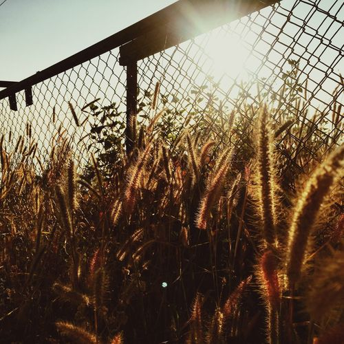 Growth Field Nature Fence Crop  Agriculture Rural Scene Sky No People Farm Plant Tranquility Sunset Cereal Plant Close-up Tranquil Scene Outdoors Day Wheat