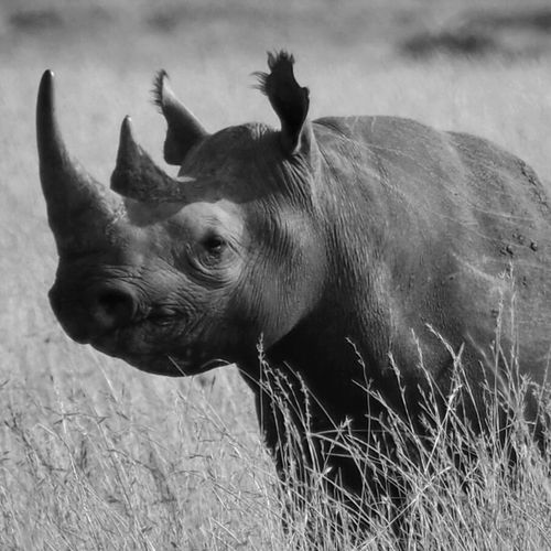 Pembe Rhinoceros Africa Wildlife & Nature