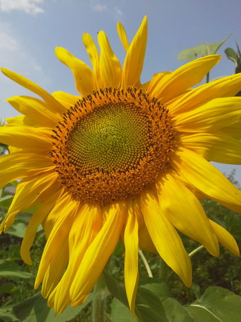 Sunflower 🌻 Flover, Green, Summer Flowers, Nature And Beauty Flovers🌺beautiful Love 💕 Flowers For My Friends Flower Collection Flower Photography People Naturally Me Natural Beauty EyeEm Best Shots - Nature Nature Photography Nature_collection EyeEm Nature Lover Summer ☀