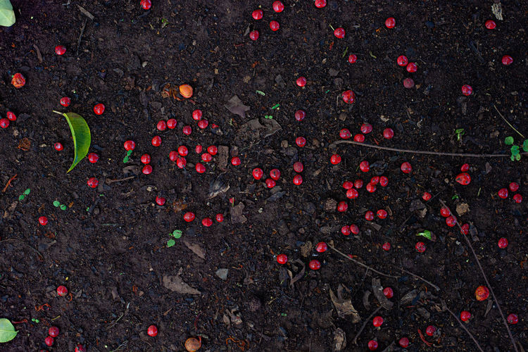 High angle view of berries on field