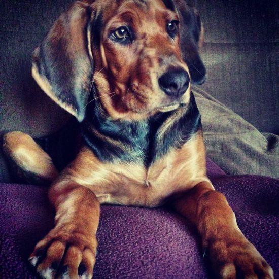 ogar polski, polish hound, 14 weeks First Eyeem Photo