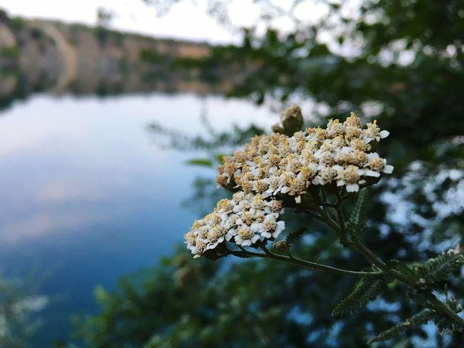 Flower Yarrow Achilleos деревій тысячелистник Water Quarry