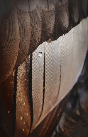 Simplicity Smartphonephotography Samsung Galaxy Note 5 Camera 360 Smartphone Photos Nature Duck Feathers Wings Hunting Wildlife Water Droplets Hydrophobic Macro