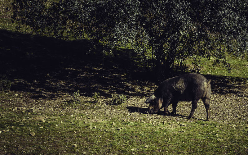 Iberian pig Acorns Animal Themes Beauty In Nature Day Domestic Animals Eat Field Grass Grazing Iberian Iberian Pig Landscape Livestock Mammal Nature No People Oaks One Animal Outdoors People Pig