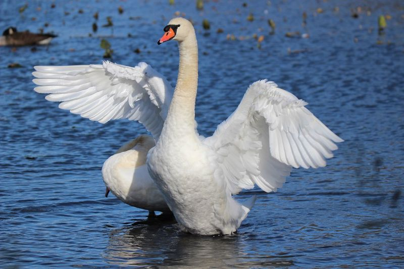 """Animal Wildlife Animals In The Wild Animal Themes Beauty In Nature Close-up White Color swans Spread Wings Blue Water """"angel-like"""" Birds Of EyeEm"""