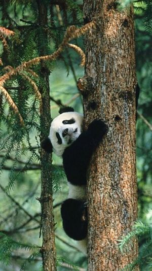 I like pandas.... Silly Lil Panda Cute Panda Love