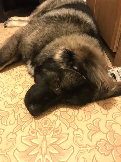 He hasn't died yet. He just sleeps😴 Cute Dog  Sleeping Cute Caucasian Shepherd Dog Dogmen Pets Dog Relaxation Indoors  Domestic Animals Black Color Close-up