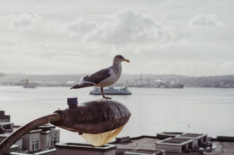 Seagull perching on a street lamp
