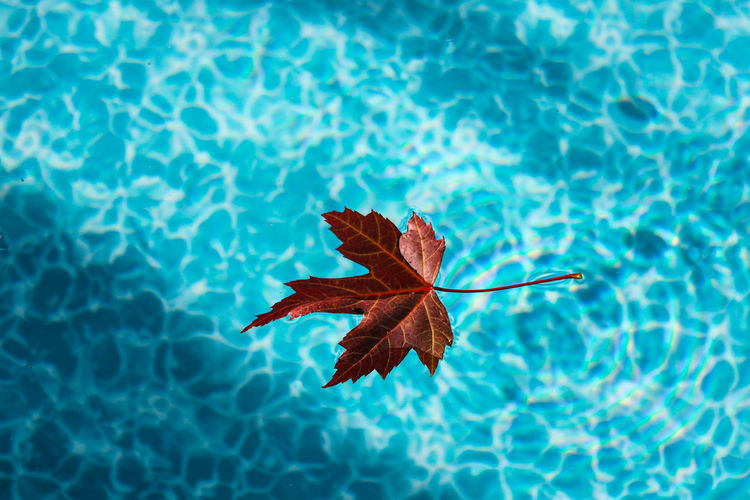 A red maple leaf floating on blue water of an outdoor swimming pool