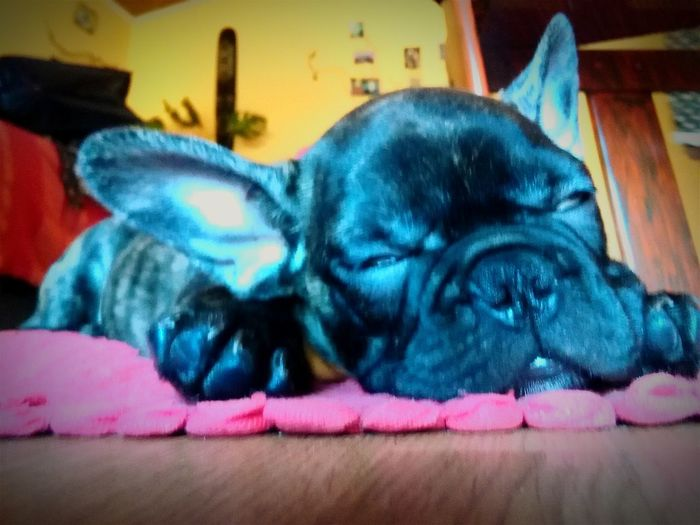 Dog Buldog Francese  First Eyeem Photo