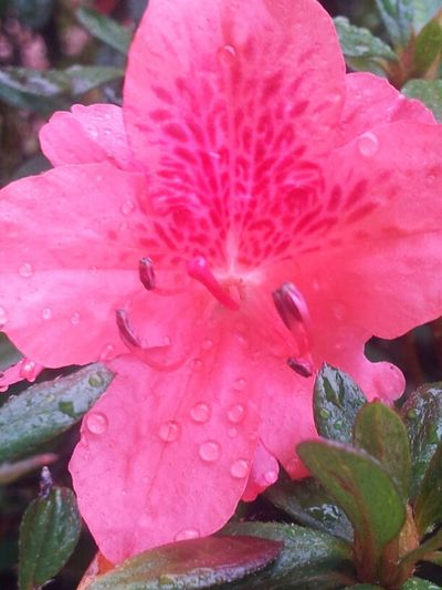 Flowers Rain Taking Photos Pink Photography TheMinimals (less Edit Juxt Photography) Water Drop Jus Because