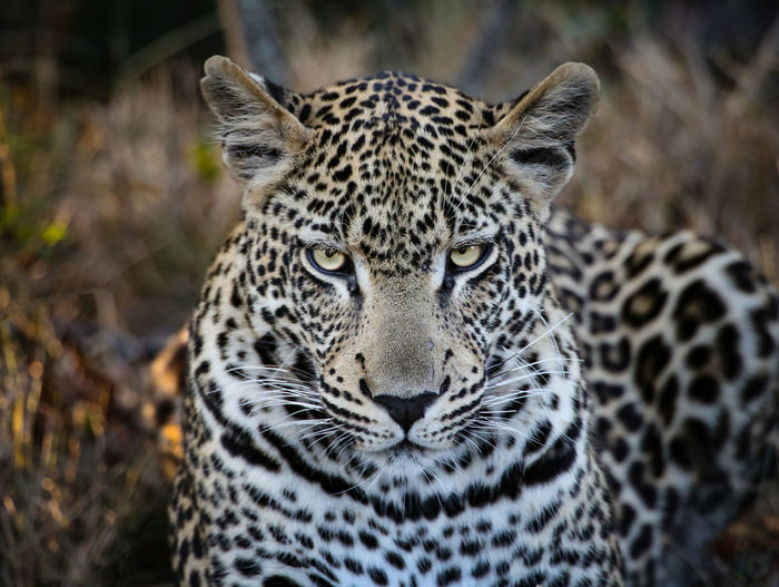 Leopard portrait. Isolated Animal Markings Animal Themes Animal Wildlife Animals In The Wild Beauty In Nature Cats Close-up Day Eyes Eyes Watching You Leopard Mammal Nature No People One Animal Outdoors Portrait Safari Animals Spotted Wildcat