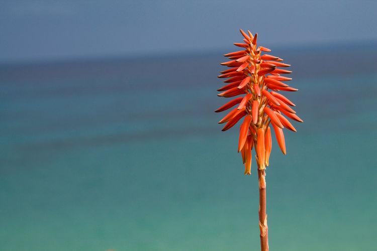 aloe flower on