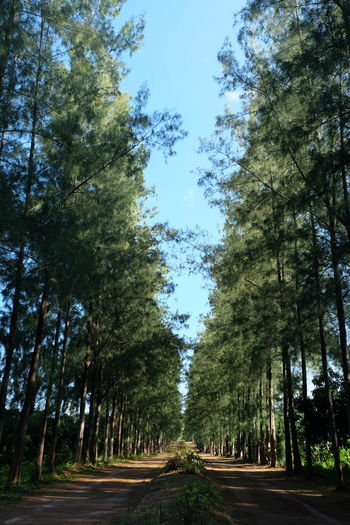 Tree Plant Road Direction The Way Forward Nature Forest Transportation Treelined Diminishing Perspective Growth Sky No People Tranquility Day Land Beauty In Nature vanishing point Green Color Tree Trunk Outdoors