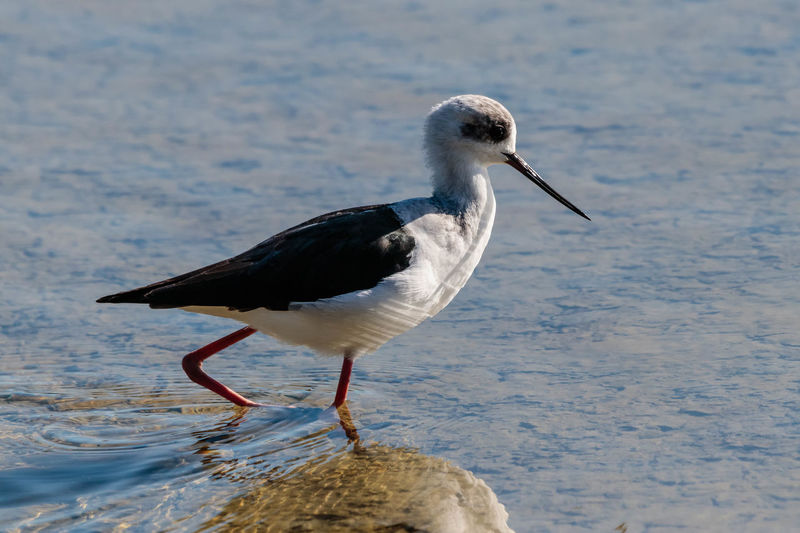 The pied stilt is a medium-large wader with very long pink legs and a long, fine, black bill. The body is mainly white with black back and wings, and black on the back of the head and neck. In flight the white body and black on the back of the neck are conspicuous. The underside of the wings is black, and the long pink legs trailing behind are diagnostic. http://www.nzbirdsonline.org.nz/species/pied-stilt Animal Bird Water Nature Close-up Beak Stilt Waikouaiti EyeEm EyeEm Nature Lover