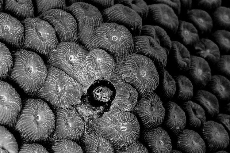 Blenny Roatan, Honduras Scuba Diving Underwater Photography Blenny