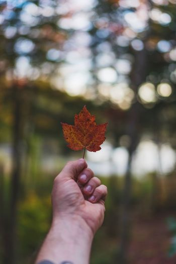 Autumn Beauty In Nature Change Close-up Day Focus On Foreground Holding Human Body Part Human Hand Leaf Maple Maple Leaf Nature One Person Outdoors People Real People Tree