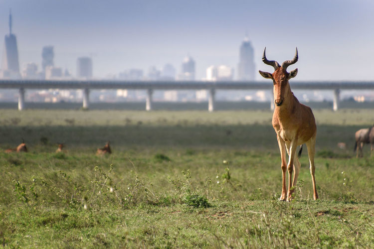 Nature meets Urban. One of my favorite photos, taken at Nairobi National Park with the city skyline in the background, this Hartebeest stood guard for the rest of its herd. An elevated railway line can be seen in the background cutting across the park. Animal Themes Animal Animal Wildlife Animals In The Wild Mammal Land One Animal Field Nature Outdoors City Cityscape Landscape Skyline Nairobi Herbivorous Standing Focus On Foreground Sky No People Buildings Hartebeest Wilderbeast Urban My Best Photo
