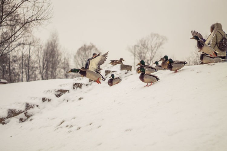 Group Of Animals Animals In The Wild Snow Winter Bird Cold Temperature Animal Wildlife Animal Animal Themes Large Group Of Animals White Color Nature No People Day Beauty In Nature Flock Of Birds