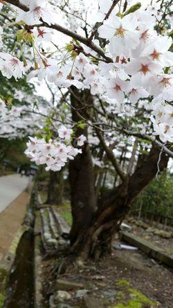 🌸 Sakura First Eyeem Photo