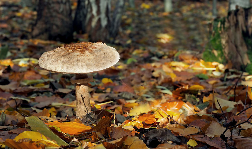Macrolepiota procera (Riesenschirmpilz - Parasol) Best Shots Nature Macrolepiota Procera Mushrooms 🍄🍄 Pilz Riesenschirmling Autumn Beauty In Nature Close-up Day Focus On Foreground Food Forest Fungus Leaf Mushroom Nature No People Outdoors Parasol Pilze Speisepilz Tranquility