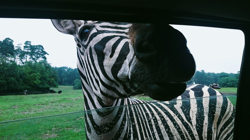 Green Color Grass Sky EyeEmNewHere Warmth Day Travel Destinations Vacations Landscape Nature Blue Sky Animals In The Wild Germany Zebra Close-up Rare Safari Animals Safari Park Safari Wildlife Outdoors Stripes, Striped Pattern Green Black & White