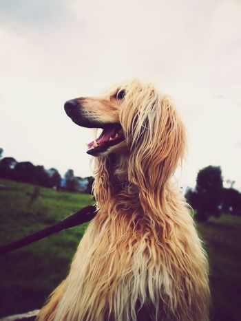 playground happiness Afghan Hound Afghan Hair Hairstyle Pets Dog Sitting Golden Retriever Retriever Close-up Sky Sticking Out Tongue Canine