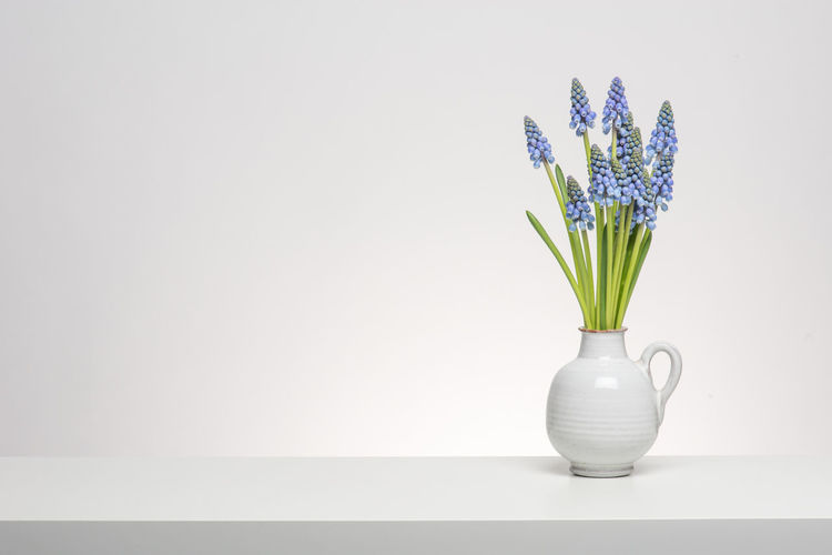 Bouquet of grape hyacinths in a white vase on a white shelf at a white background Studio Blue Flowers Bouquet Flower Grape Hyacinths Indoors  Living Room Nature Plant Pottery Vase White