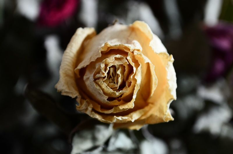 Close-up Flower Beauty In Nature No People Flower Head Rose - Flower Rosé Rose🌹 Rose Collection Dead Rose Nature Flower Collection Dead Flower