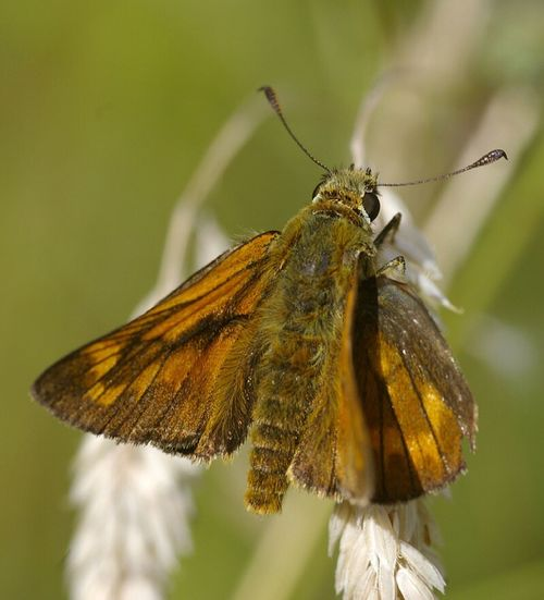 skipper butterfly, in our meadow, Wales Insect One Animal Animal Themes Animals In The Wild Close-up Wildlife Butterfly Butterfly - Insect Animal Antenna Macro Animals In The Wild Zoology Insect Photography