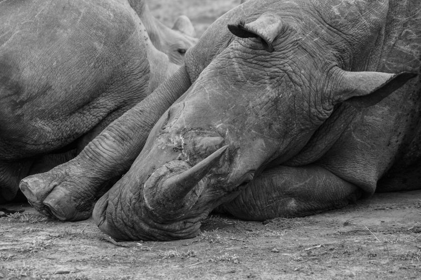 Relaxing Rhino´s in the Hluhluwe-iMfolozi Nationalpark. They were just lying next to the car, not interested in anything. EyeEm Nature Lover South Africa Travel Animal Themes Animal Wildlife Animals In The Wild Blackandwhite Close-up Day Eye4photography  Hluhluw-imfolozi Park Lying Down Mammal Nature No People Outdoors Relaxation Rhino Safari Animals Sleeping Sony A6000 Togetherness Travel Destinations The Week On EyeEm Black And White Friday
