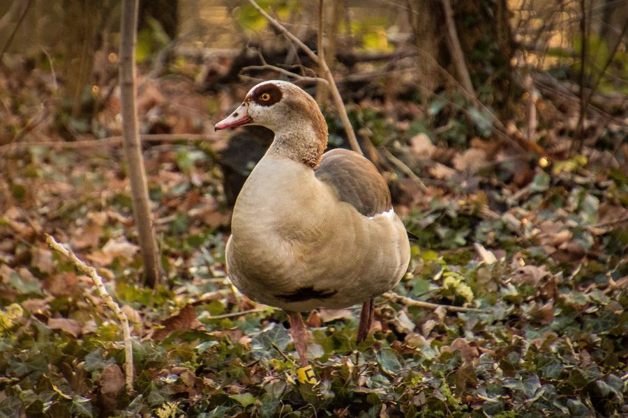 Egyptian Goose Beauty In Nature Egyptian Goose Animals In The Wild Animal Themes Bird One Animal Animal Wildlife Day Nature Focus On Foreground Close-up No People Outdoors