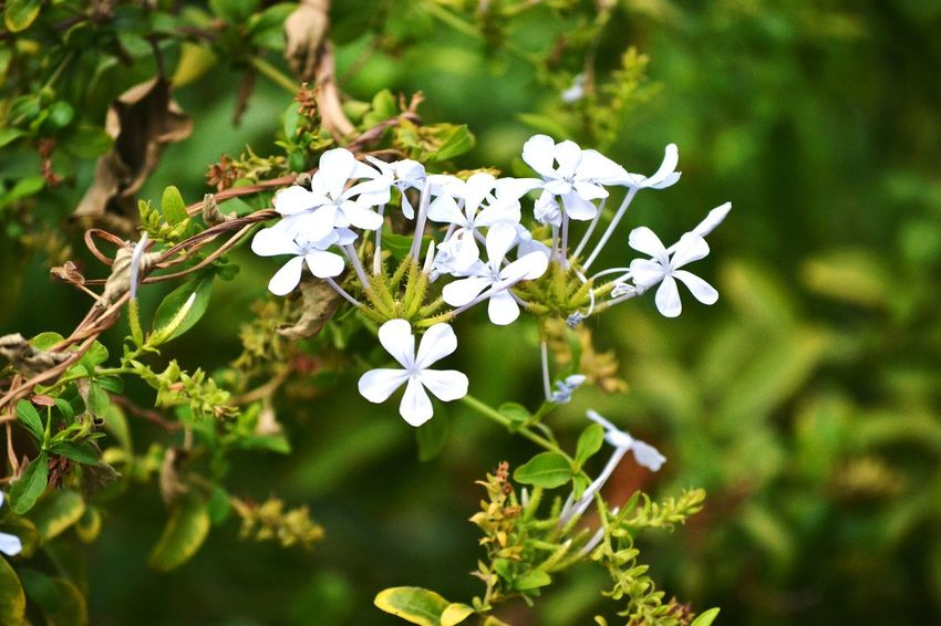 White Flowers Green Leaves Flowers Flower White Details Beautiful Nature Afternoon Shot Nature HD HighDefinition  Nikonphotography Nikon Green Background Blur Background Soothing Lovely