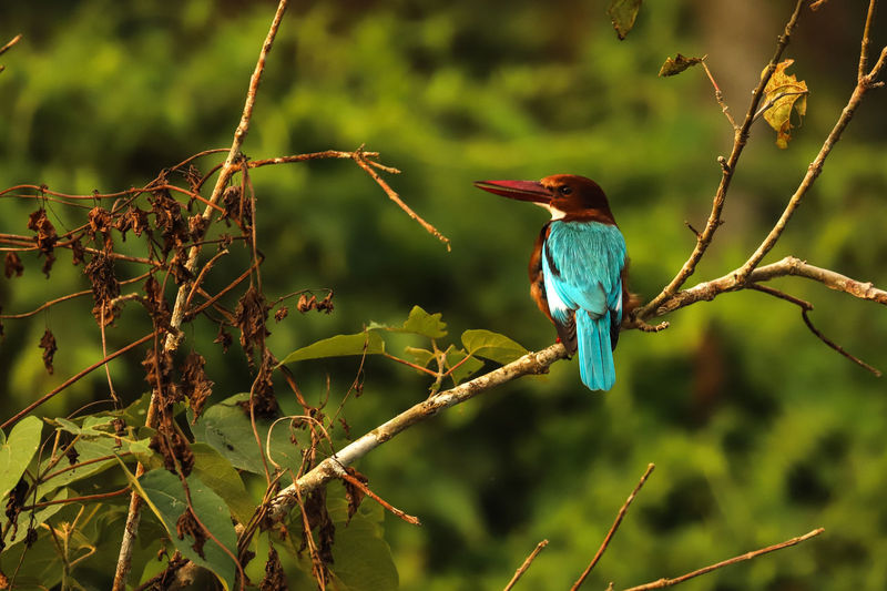 Chitwan King Fisher Martin Pescatore Natura Neplai Traditional Steal Animals In The Wild Bird Kingfisher Nature One Animal Tree