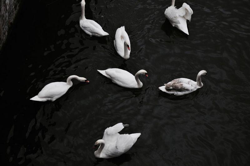 Arrangement Beautiful Berlin Blackandwhite EyeEm Best Shots Swan Swan Lake Swimming