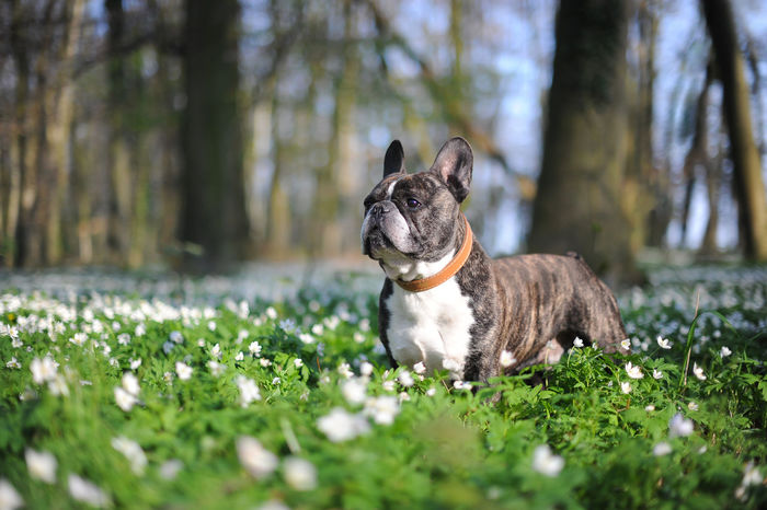French Bulldog in an anemone flower field Anemone Flower Animal Themes Bulldog Canine Photography Cute Pets Day Dog Domestic Animals Flowers, Nature And Beauty Forrest French Bulldog Frenchbulldog Grass Green Color Growth Mammal Nature No People One Animal Outdoors Pets Portrait Puppy Spring Tree