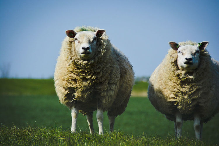Portrait Of Sheep Standing On Field Against Clear Sky
