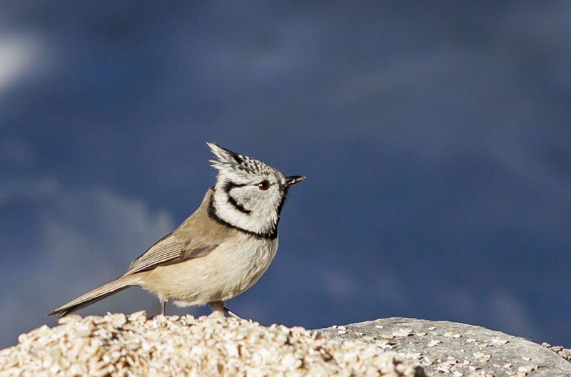 Parus crestatus Animal Themes One Animal Animal Animal Wildlife Animals In The Wild Vertebrate Bird No People Day Perching Focus On Foreground Solid Nature Rock Close-up Looking Rock - Object Sparrow Looking Away Outdoors Whisker