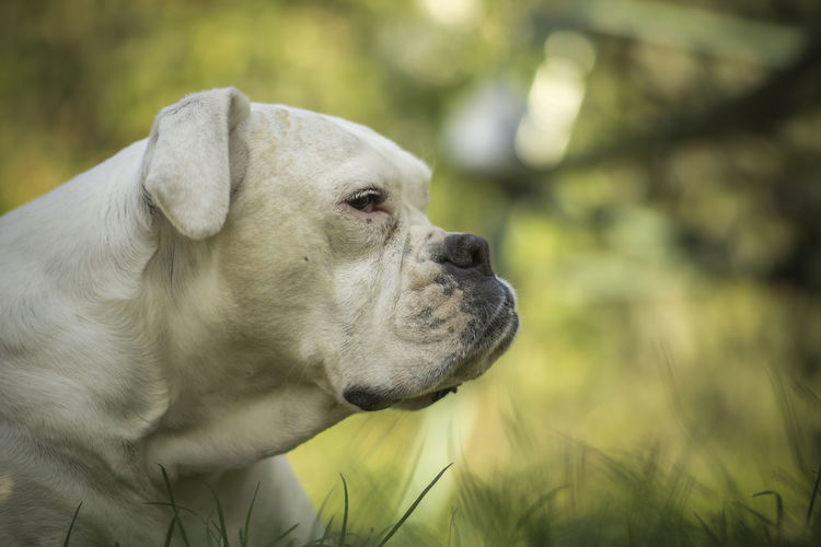 [Rathenower Optische Werke Visionar 77mm f/1.6] Boxer Boxer Dog Animal Animal Body Part Animal Head  Animal Themes Canine Close-up Day Dog Domestic Domestic Animals Focus On Foreground Looking Looking Away Mammal Nature No People One Animal Outdoors Pets White Dog
