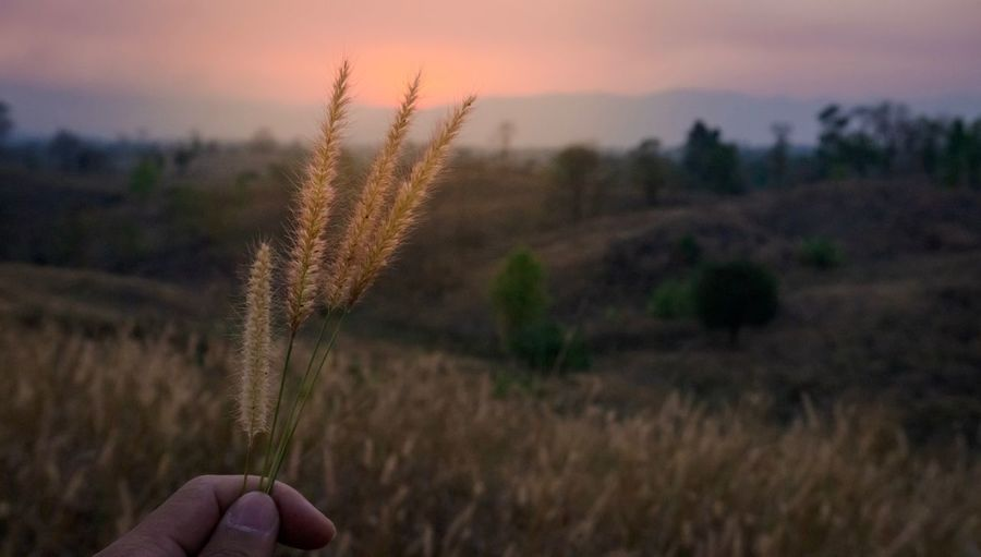 grass flower on hand. Plant Sky Sunset Growth Nature Field Land Landscape Beauty In Nature Human Hand Hand Outdoors
