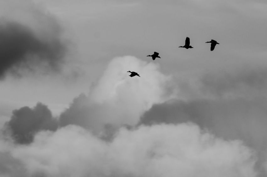 paso a paso el vuelo Campo Ecology Evolucion La Pampa Nature Patos Sincronizado Vuelo