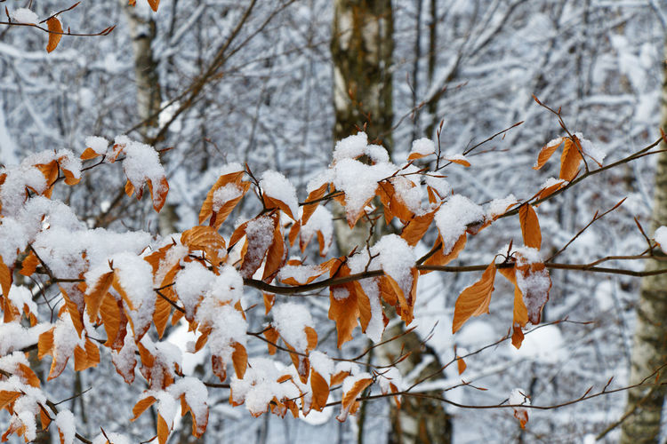 Close-up of snow covered leaves on tree