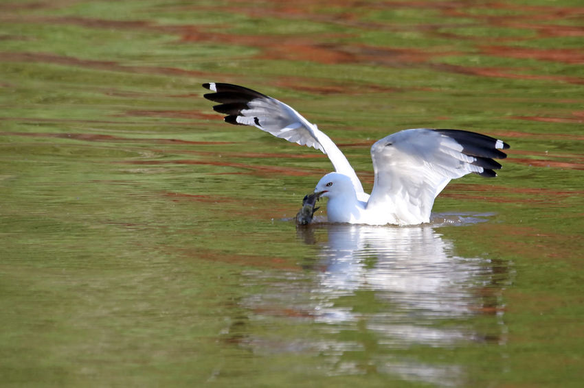 Gull With Breakfast Animal Avian Beauty In Nature Bird Close-up Day EyeEm Nature Lover Fish Focus On Foreground Lake Nature No People Outdoors Ring-billed Gull Rippled Selective Focus Spread Wings Water Water Bird Wildlife