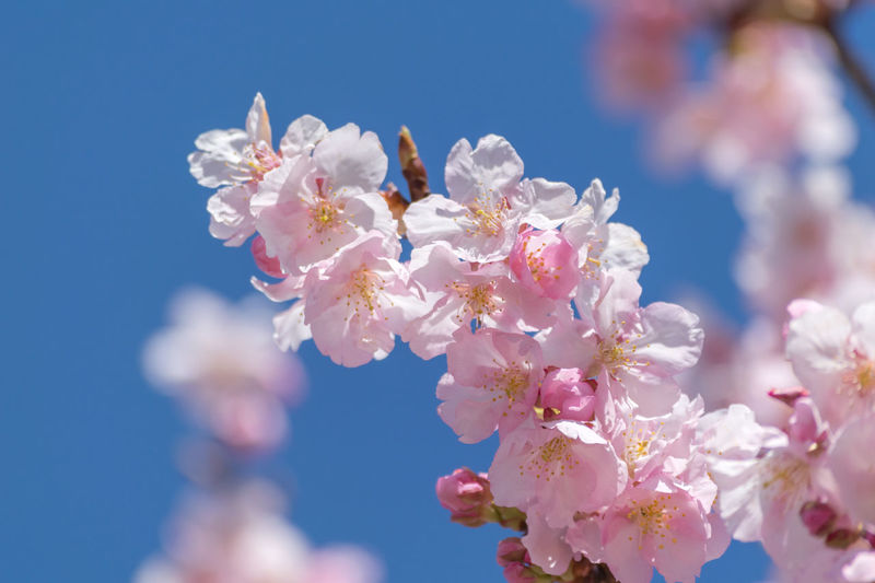 Close-Up Of Fresh Pink Flowers Blooming On Tree Against Sky