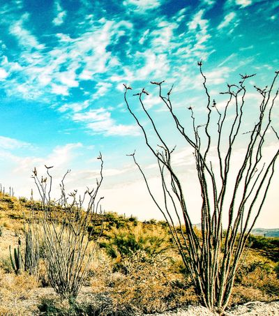 Nature Tranquility Tranquil Scene Beauty In Nature Plant Outdoors Grass No People Landscape Day Sky Scenics Growth Tree Arid Climate Ocotillo Cactus JGLowe