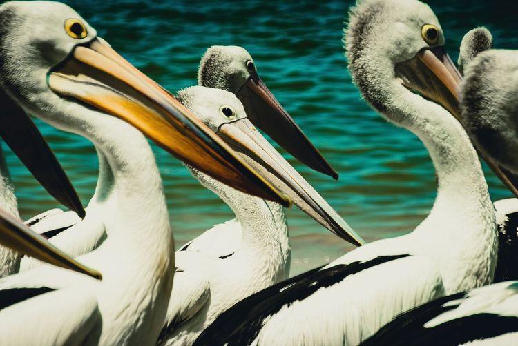 Pelicans swimming in sea