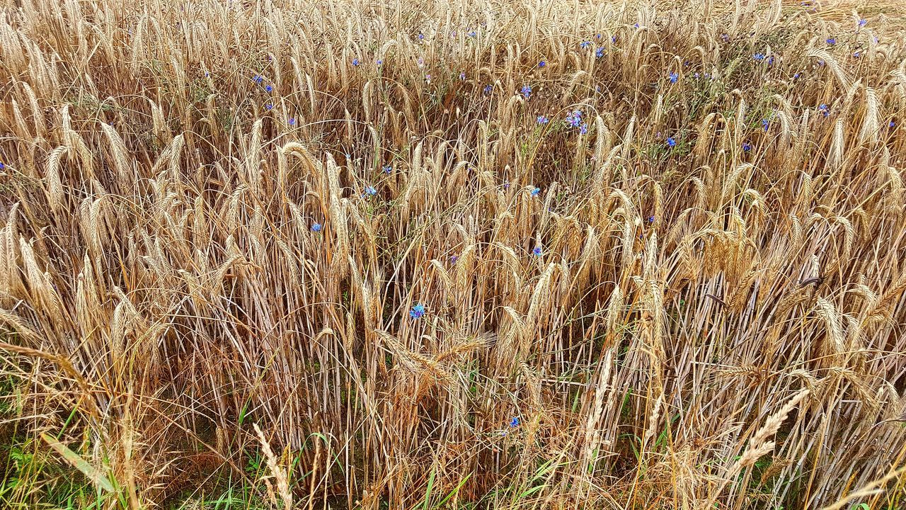 growth, field, agriculture, nature, cereal plant, crop, grass, plant, outdoors, day, tranquility, no people, rural scene, tranquil scene, beauty in nature, wheat, landscape, ear of wheat, close-up