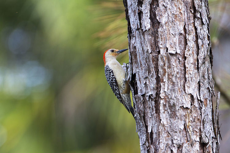 Melanerpes Aurifrons Red Bellied Wood Pecker Animal Themes Animal Wildlife Animals In The Wild Beauty In Nature Bird Florida Birds One Animal Tree Woodpecker