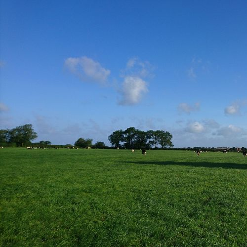 Dairy Cattle Dairy Farming Dairy Cattle Cows Cows In A Field Farming Summer Seasons England Lancashire Milk Natural Grazing Sky And Clouds Trees Grass Field Tree Rural Scene Agriculture Field Blue Sky Agricultural Field Farmland Farm